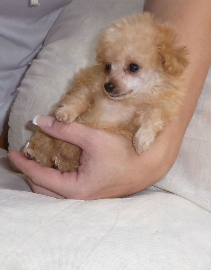 1000+ ideas about Teacup Poodle Puppies on Pinterest ...