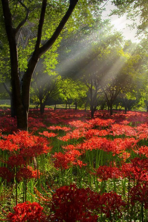 Red Spider Lily and Light
