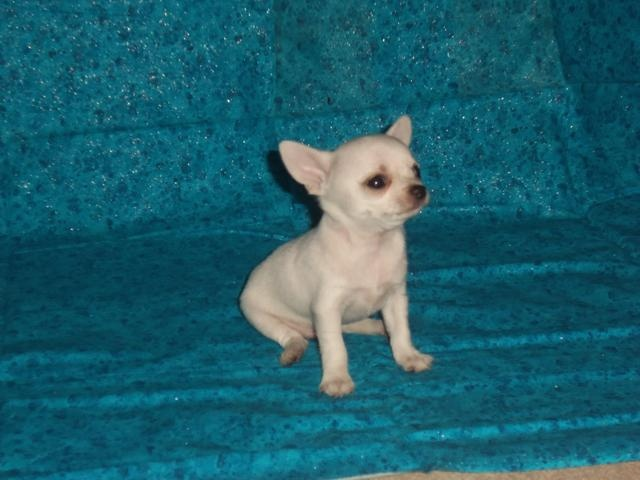 AKC Chihuahua Puppies, Champion bloodlines, Raised in Home