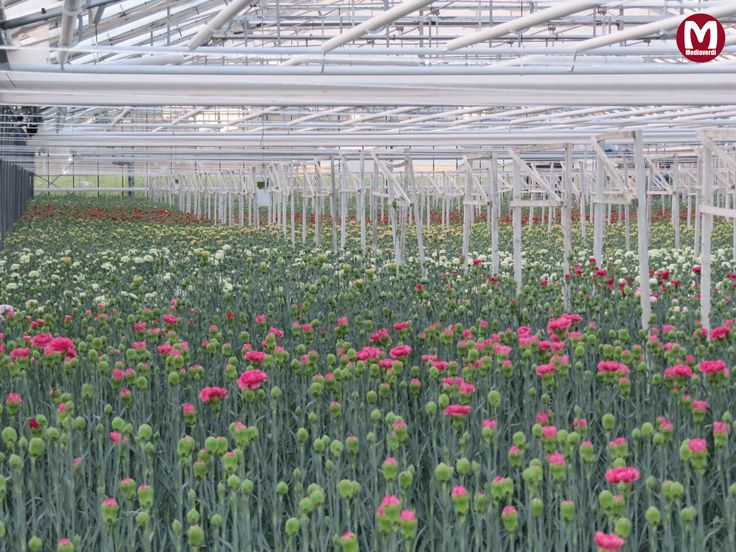 kas Anjers / greenhouse Carnations