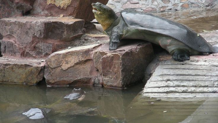 'World's Most Endangered' Turtle, Over 100 Years Old, Could Be Mom Soon. PHOTO: The female Yangtze giant softshell turtle is seen basking and the male can be seen in the water.