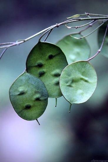 I love Silver Dollars! Bi-annual, they flower the second year they are planted and forever after make these lovely seed pods that you gently rub off and get silver paperlike remnants. Dried they stay forever in your house!  Three Pod Night by Matthew Tauzer