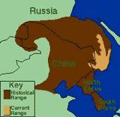 Сибирский (Амурский, Уссурийский) тигр [Panthera tigris altaica]