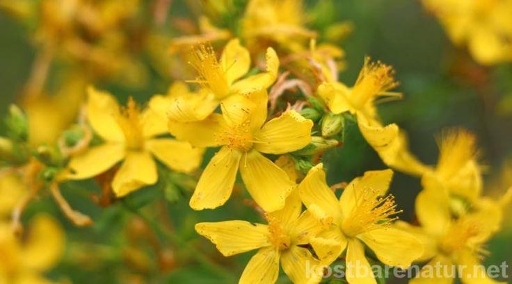 Das gelb blühende Johanniskraut ist einer der besten Speicher der Sonnenenergie. Sammle es im Sommer und nutze es im Winter, um die dunklen Tage aufzuhellen.