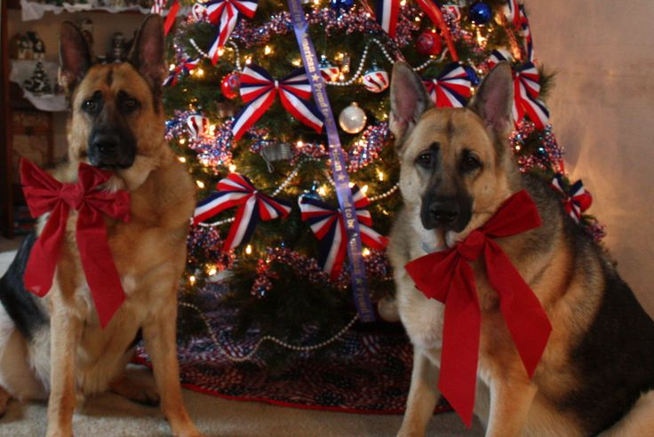 Merry Christmas, German Shepherd Kuda & Kate Our German Shepherds, 2013