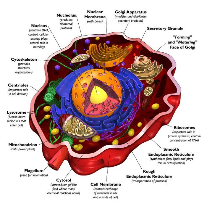 ... Cell | The Human Body | Pinterest | Cross section, Animal cell and