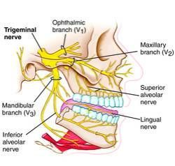 Branches of the trigeminal nerve. HATE FACIAL NERVES! But I do love illustrations lol:
