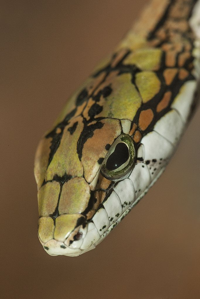 Twig Snake                                                                                                                                                                                 More