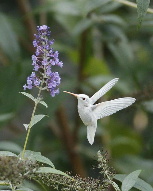 Albino Ruby-throated Hummingbird By Kevin Shank