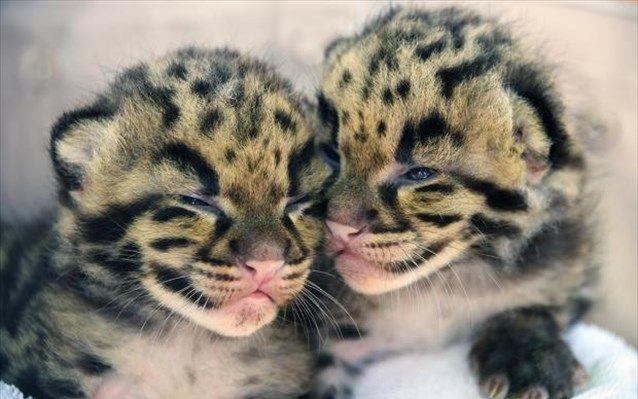 Μαϊάμι: Δυο νεφελώδεις λεοπαρδάλεις γεννήθηκαν στον ζωολογικό κήπο | naftemporiki.gr