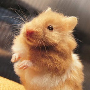 Long-haired Teddy Bear Hamster. Why is he so adorable I'd buy him his own Luxury Habitrail? He's just a gold, furry mouse.