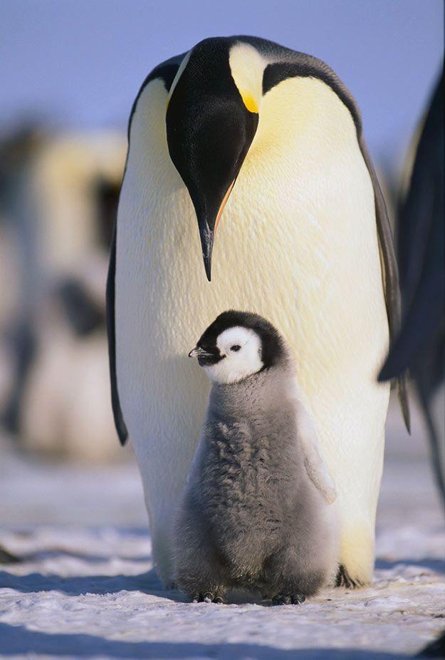 le manchot empereur. Face aux conditions de vie particulièrement ardues de l'Antarctique, le papa manchot va marcher des dizaines de kilomètres pour rejoindre l'aire de nidification, où la femelle lui confiera son précieux oeuf.