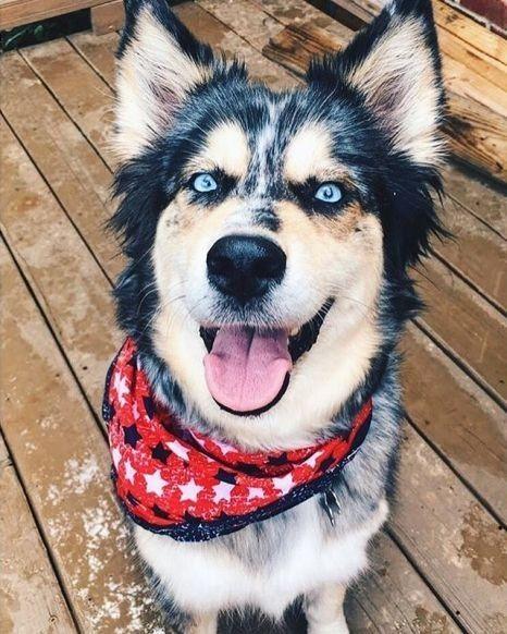 Blue Heeler Husky Mix Puppies For Sale | PETSIDI  |Blue Heeler Shepherd Husky Mix