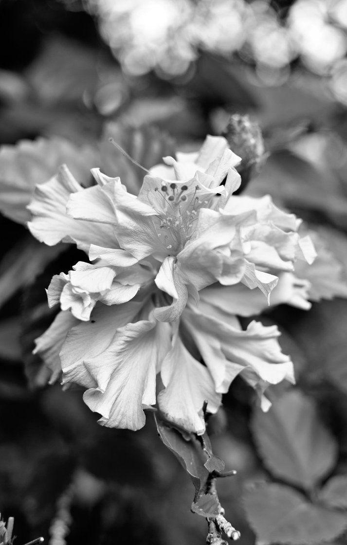 Hibiscus in the front garden.