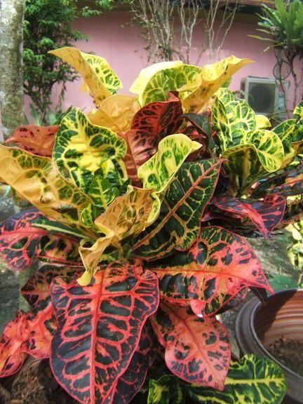 Tropical croton plants croton plant my garden for Croton plant