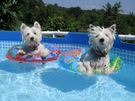 Westie Rescue in Orange County, CA.  So cute!  Pretty sure my Westie would freak if I put her in an inner tube in the pool!