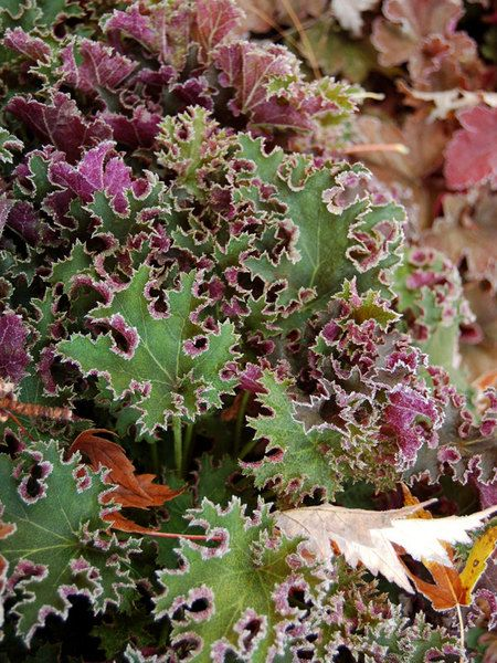 """Heuchera, Sashay. Very dramatic two tone effect, the leaves are a luscious burgundy that contrasts nicely with the upper dark green. Heat and humidity tolerant. Blush pink flowers 8-22"""" height"""