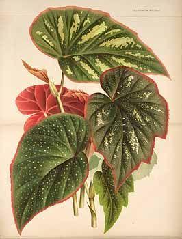 113637 Begonia teuscheri Linden ex André / L' Illustration horticole, vol. 26: t. 358 (1871)