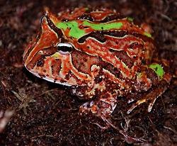 The Argentine Horned Frog (Ceratophrys ornata)