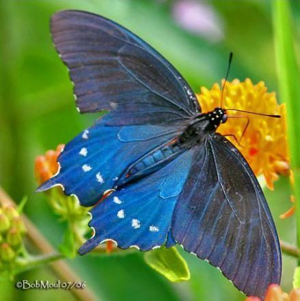 Pipevine Swallowtail (Battus philenor) - Photo @Bob Moul 07/06