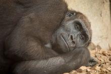 Monkey Gorilla Wallpaper
