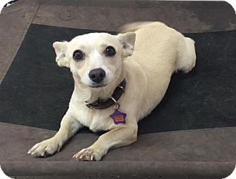 Phoenix, AZ - Corgi/Chihuahua Mix. Meet Ella, a dog for adoption. http://www.adoptapet.com/pet/15851534-phoenix-arizona-corgi-mix