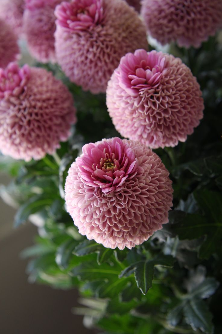 Chrysanthemum Crown,  'Jenny pink'