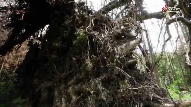 Der Rothwald   Der letzte Urwald Mitteleuropas Doku HD deutsch