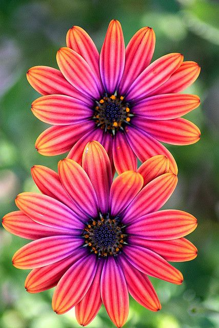 "Osteospermum ""light copper""  -  Osteospermum is a genus of flowering plants belonging to the Calenduleae, one of the smaller tribes of the sunflower/daisy family Asteraceae"