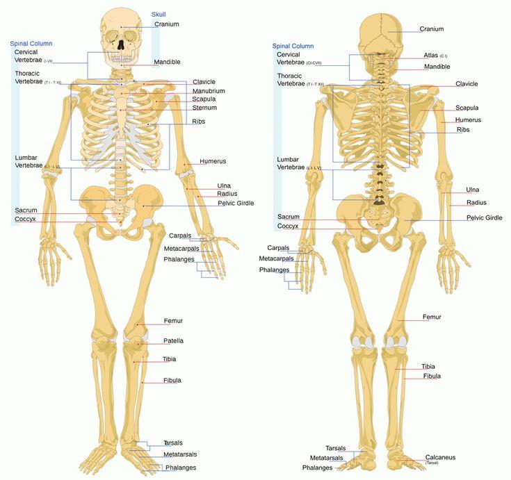 154 besten Human Body Anatomy Bilder auf Pinterest | Anatomie ...