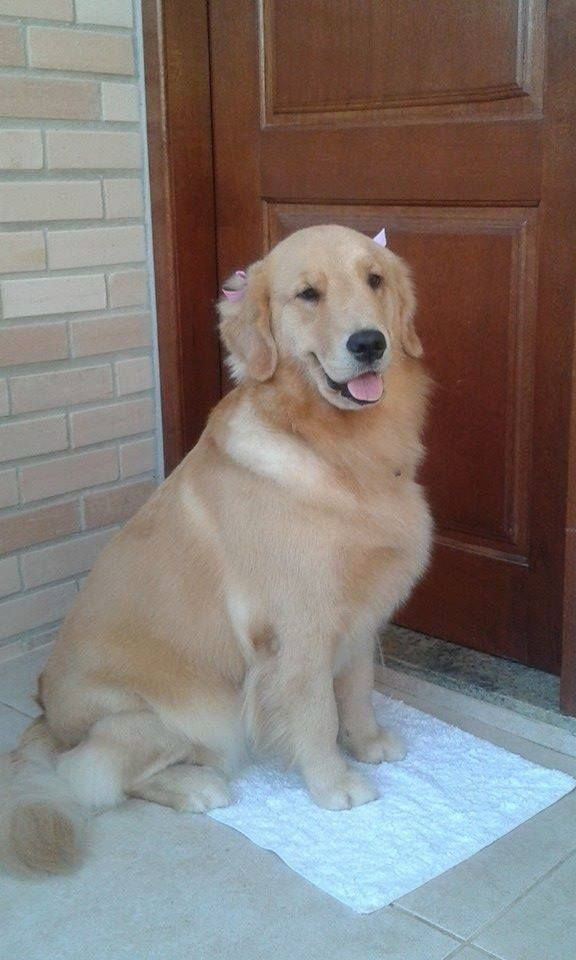 I Ve Wiped My Feet Can I Come In Now Please Golden Retriever