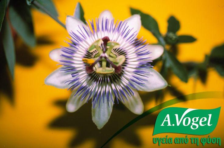 Πασσιφλόρα (Passiflora incarnata) Σε διπλή-τυφλή μελέτη επιβεβαιώθηκε η αποτελεσματικότητα της πασσιφλόρας, όπου 45 σταγόνες εκχυλίσματος του βοτάνου που λαμβάνονταν για τέσσερις εβδομάδες, ήταν αποτελεσματικές όσο 30gr ισχυρού συνθετικού ηρεμιστικού oxazepam (Serax).  Πασσιφλόρα ελεγχόμενης βιολογικής καλλιέργειας και φρέσκιας συγκομιδής θα βρείτε στο βάμμα Passiflora και στο φυτικό αντιυπερτασικό Hawthorn-Garlic της A.Vogel .