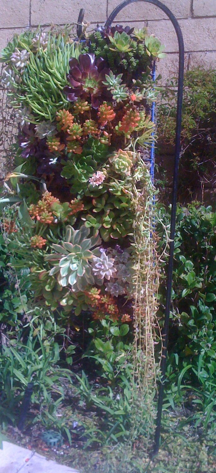 When the succulents grow leggy... just clip them and poke the cutting into a different place. Being planted in tightly bound moss keeps them from growing too fast or too big. jmsucculents.com. a great website if you're a succulent fan.