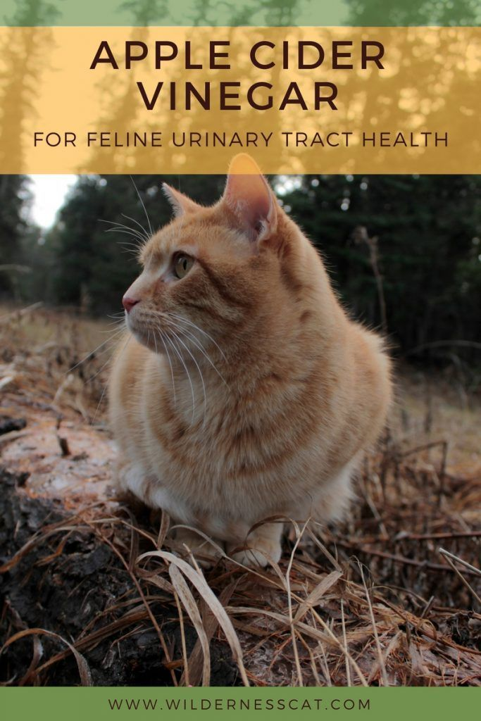 Apple Cider Vinegar for Cats Cat UTI Home Remedy Cat
