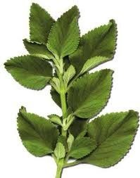 Boldo (Peumus boldo) - used to flavour tea. And in the ailments of gall bladder and stomach.