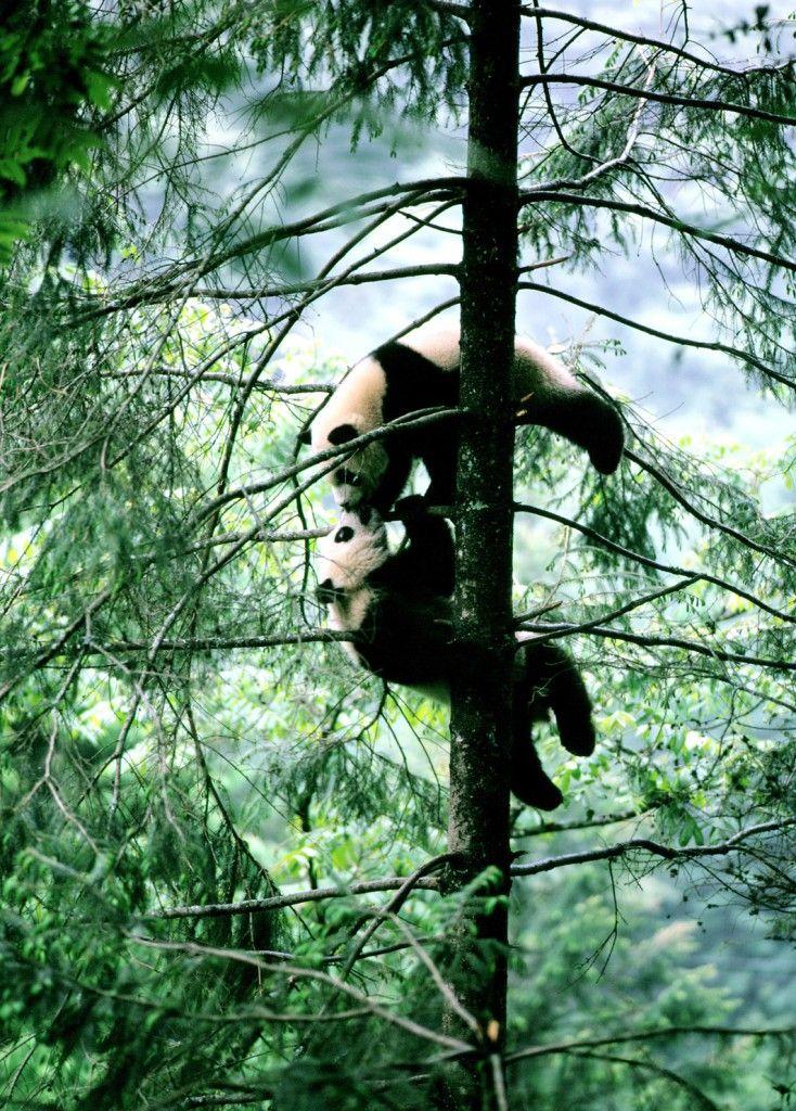 Óriáspandák a Volong Nemzeti Park területén. (Fotó: AFP)