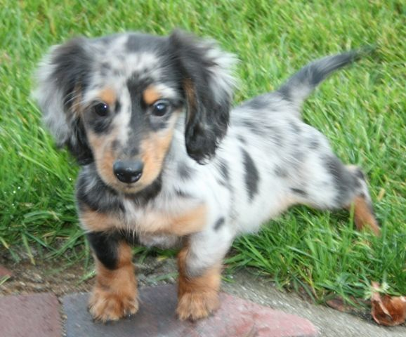champagne long hair mini dachshund | Longdox Dog pictures