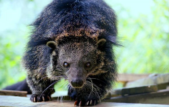 Researchers Explain Why Binturongs Smell Like Popcorn Apr 15, 2016 by News Staff / Source