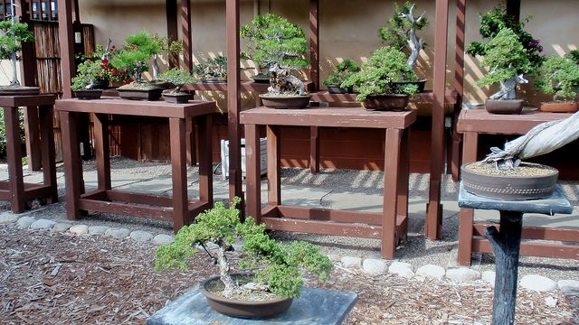 outdoor bonsai display