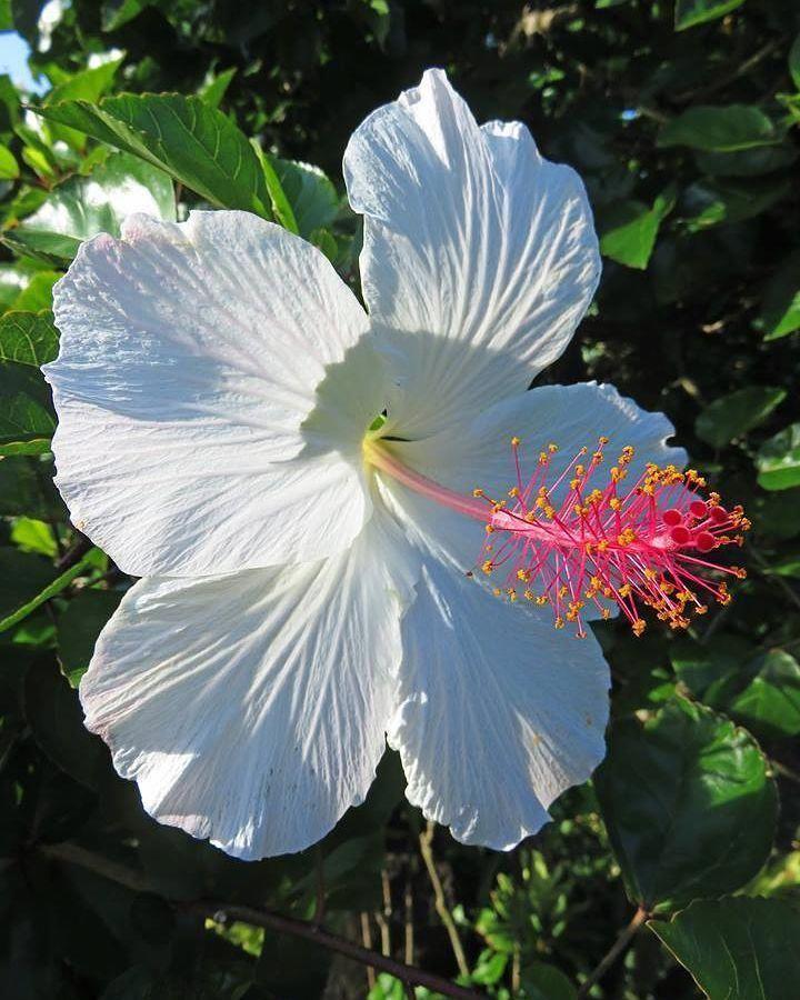 Hibiscus Flower Artificial Hibiscus Hibiscus Hibiscus Exotic