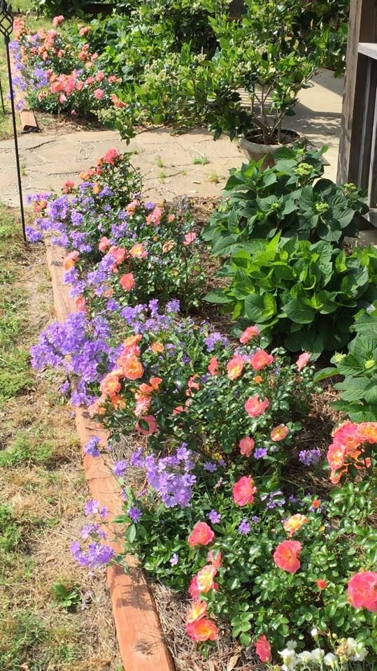 Hydrangeas in back with Blue  Phlox (blooms in spring)  and peach drift roses- both are a ground cover and the roses are pink peach yellow.  Very  low maintenance!