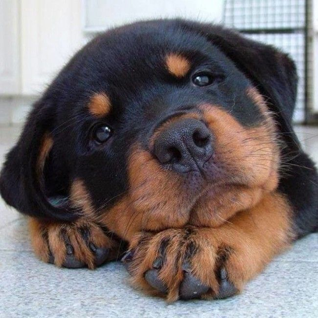 Rottweiler Puppies - 38 Pictures