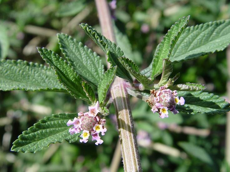 1000 images about plantas aromaticas y medicinales on - Planta de melisa ...