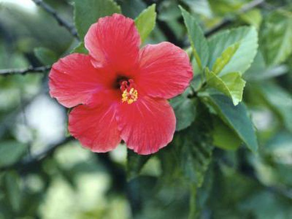 A Long Time Favorite In Many Cultures Hibiscus Tea Is Consumed For Its Refreshing Taste Health Benefits And Tradition Hibiscus Tea Is Made From The Flowers O