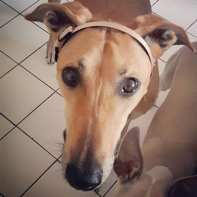 Isn't she lovely with this headband ?😂 Jouska : magyar agar, magyar, levrier hongrois, levrier, hungarian greyhound