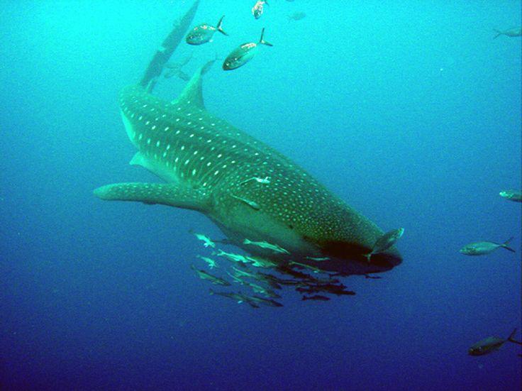 Ejemplar de un Tiburón Ballena en el Campo Petrolero Cantarell. Fotografía de un colega
