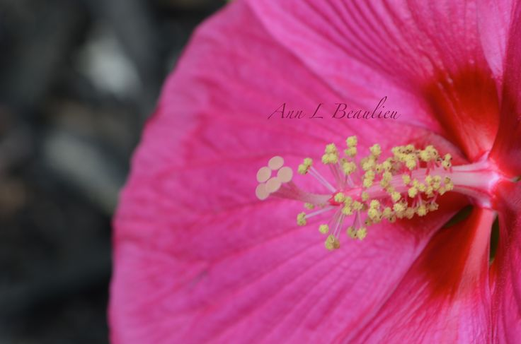 Hibiscus from my garden. Photo 201/365 project.