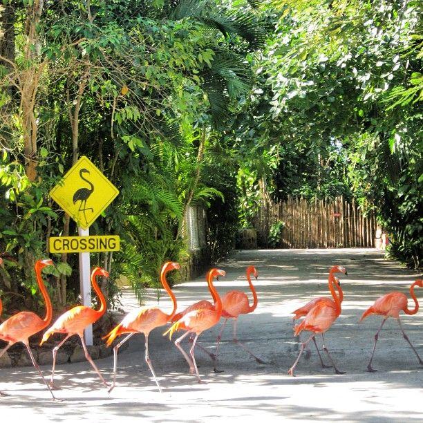 Flamingos crossing!