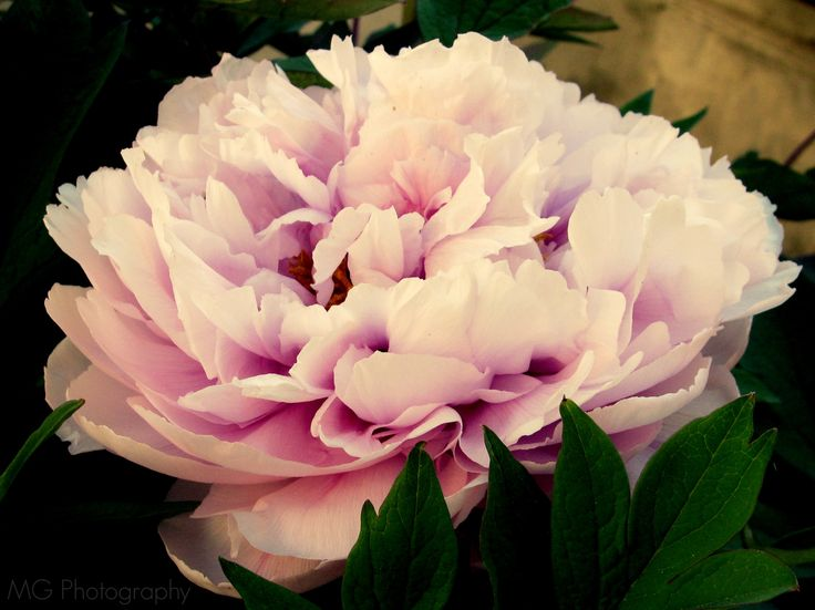The One With The Peony
