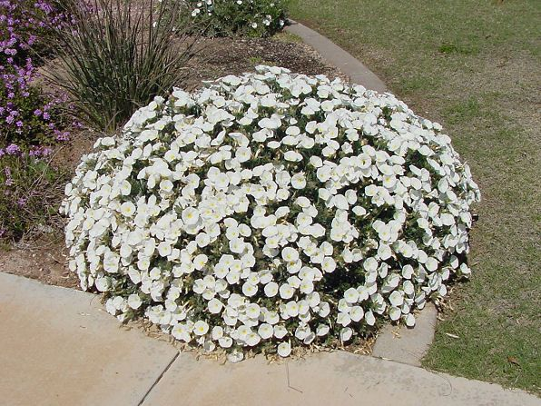 Bush Morning Glory, Convolvulus cneorum. Also called Silverbush. Xeriscape Landscaping Plants For The Arizona Desert Environment.  Pictures, Photos, Information, Descriptions, Images, & Reviews. Groundcovers.